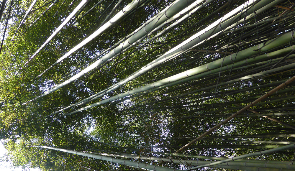Bamboo – more exciting than watching the grass grow | SOAS Blog