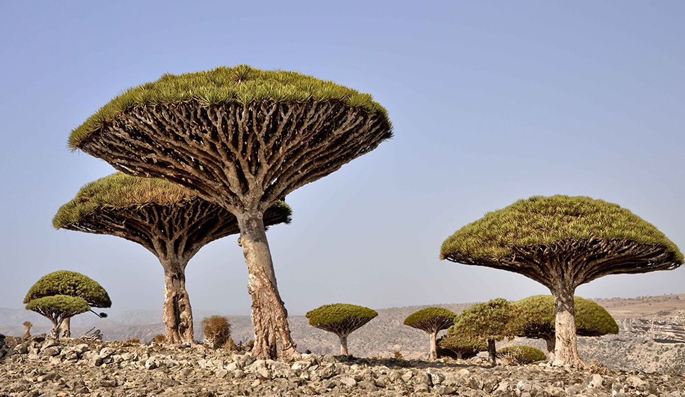 Dragon's Blood Tree, Socotra © Rod Waddington