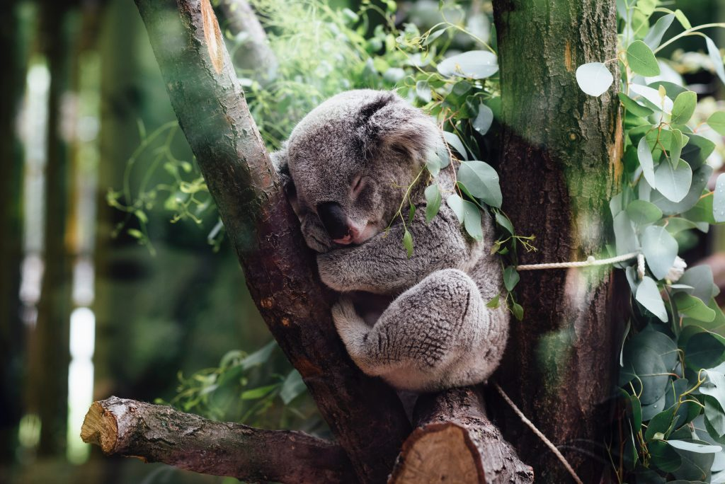 Koala in Sydney/Dharuk language